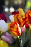 生长在庭院里的红色橙色杂色的郁金香 库存照片