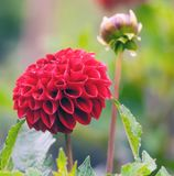 生长在庭院里的红色翠菊 免版税库存照片
