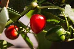 生长在庭院里的红色辣椒粉 免版税库存图片
