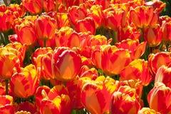 生长在庭院里的纯净的红色郁金香 库存照片