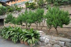 生长在庭院里的罗斯玛丽树的布什 免版税图库摄影