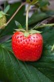 生长在庭院里的草莓灌木 图库摄影