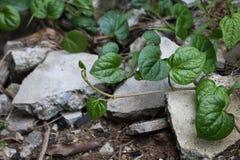 生长在庭院里的蒋酱之叶可以使用作为草本 免版税库存图片
