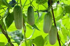 生长在庭院里的绿色黄瓜 免版税库存照片