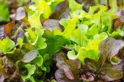 生长在庭院里的莴苣植物 免版税库存图片
