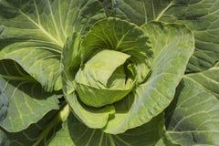 生长在庭院顶视图的白椰菜头 库存图片