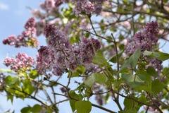 生长在我的庭院里的开花的芬芳丁香 免版税库存照片