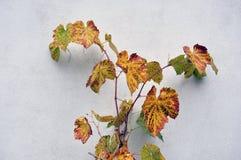 生长在房子的墙壁的葡萄树 免版税库存照片