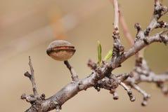 生长在扁桃的杏仁坚果 免版税库存照片