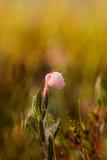 生长在早晨露水的沼泽的美丽的沼泽迷迭香 免版税库存照片