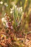 生长在早晨露水的沼泽的美丽的沼泽迷迭香 库存照片