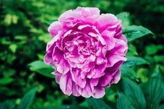 生长在春天的桃红色牡丹 库存图片