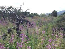 生长在春天的羽扇豆 图库摄影