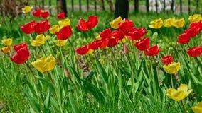 生长在春天花圃里的许多红色和黄色郁金香 影视素材