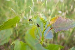 生长在有叶子甲虫的草甸的白扬树 免版税库存图片