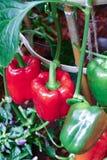 生长在有机农场的响铃甜椒 免版税图库摄影