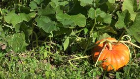生长在有机菜园里的南瓜 全景 4K 股票视频