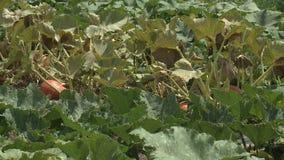 生长在有机菜园里的南瓜 影视素材