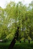 生长在有轻的叶子的公园的柳树 免版税库存照片