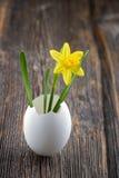 在白鸡蛋壳的黄色黄水仙 库存图片