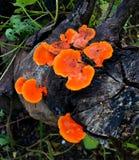生长在木材的橙色狂放的蘑菇 免版税库存图片
