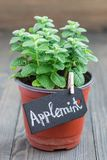 生长在木桌,苹果薄菏上的罐的新鲜薄荷植物,垂直 库存图片