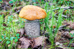 生长在木头的白杨木蘑菇在秋天 库存照片