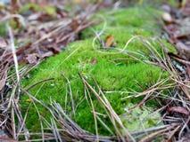 生长在杉木森林地板上的岩石的Byrum青苔 免版税库存图片