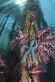 生长在柱子的海星 免版税库存图片
