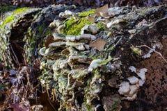生长在树一边的蘑菇 库存照片