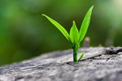 生长在树干树的强的幼木作为支持大厦的概念每未来 (焦点在新的生活) 免版税图库摄影