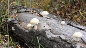 生长在树干的蘑菇 影视素材
