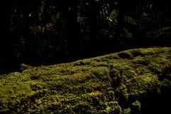 生长在树干的青苔 免版税图库摄影