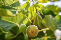 生长在树枝的绿色无花果 免版税库存图片