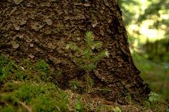 生长在树根的年轻树  库存图片