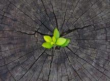 生长在树桩外面的植物 免版税库存照片