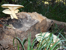 生长在树桩的白色Polypore蘑菇 库存照片