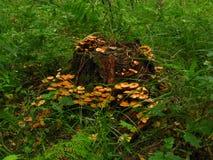 生长在树桩的蜜环菌 免版税库存照片