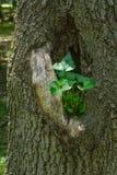 生长在树的凹陷的植物 图库摄影