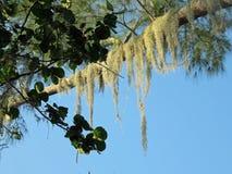生长在树的寄生藤 免版税库存图片