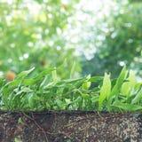 生长在树的小皮革叶子蕨 库存图片