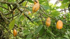 生长在树的成熟黄色cocao荚在有机种植园农场 4K 巴厘岛印度尼西亚 影视素材