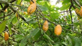 生长在树的成熟黄色cocao荚在有机种植园农场 4K 巴厘岛印度尼西亚 股票视频