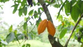 生长在树的成熟黄色cocao荚在有机种植园农场 4K 巴厘岛印度尼西亚 股票录像