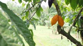 生长在树的成熟yelow cocao荚在有机种植园农场 4K 巴厘岛印度尼西亚 股票录像