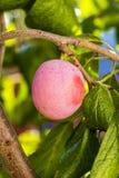 生长在树的李子 免版税库存图片
