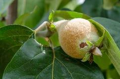 生长在树的柑橘 免版税库存照片