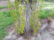 生长在树的树干的附近年轻新芽 免版税库存图片