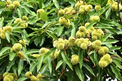 生长在树的欧洲栗木 库存图片