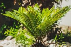 生长在树的石榴 新年的标志在以色列 免版税库存照片
